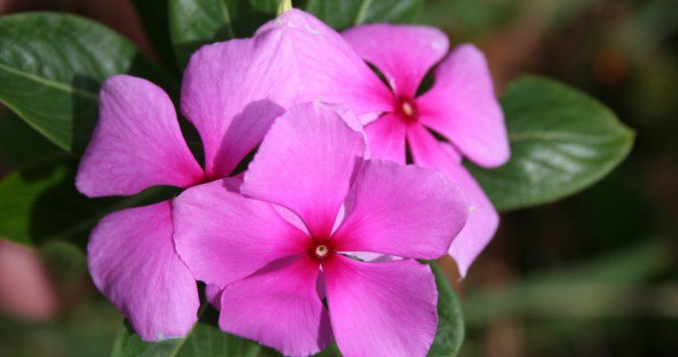 Rose amère ou pervenche de Madagascar