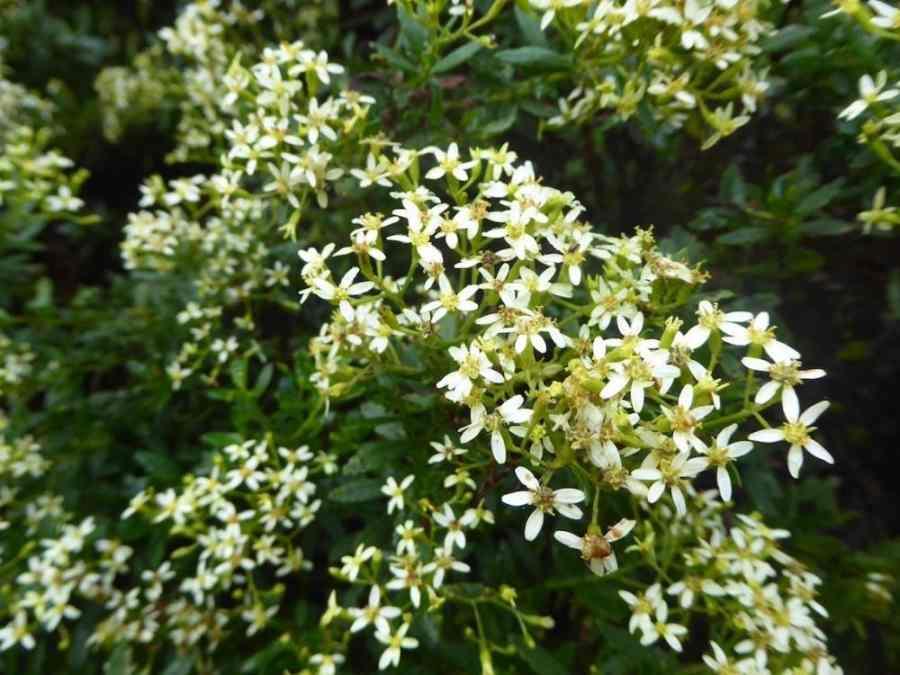 Ambaville - Plante médicinale endémique - Aplamedom Réunion
