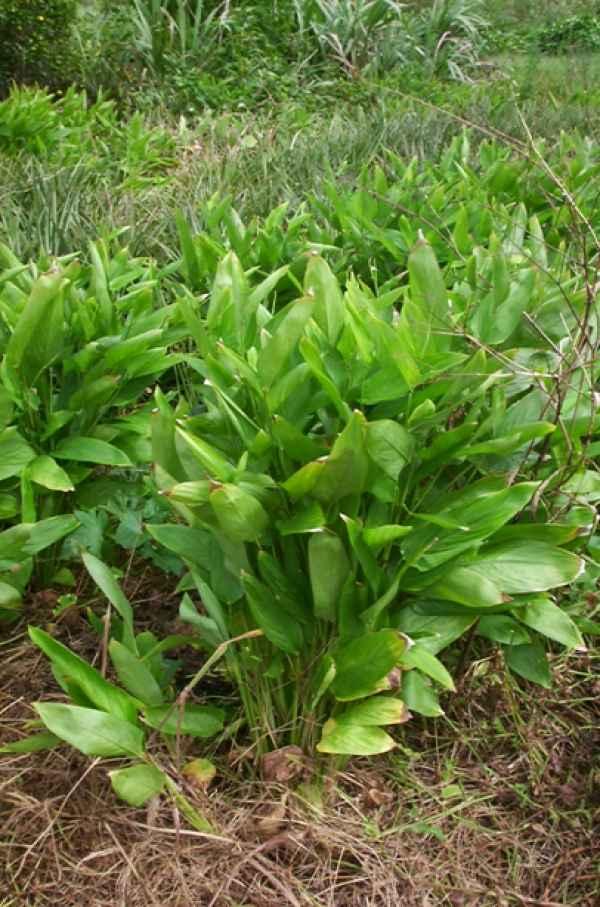 Arrow root - Plante médicinale - Aplamedom Réunion