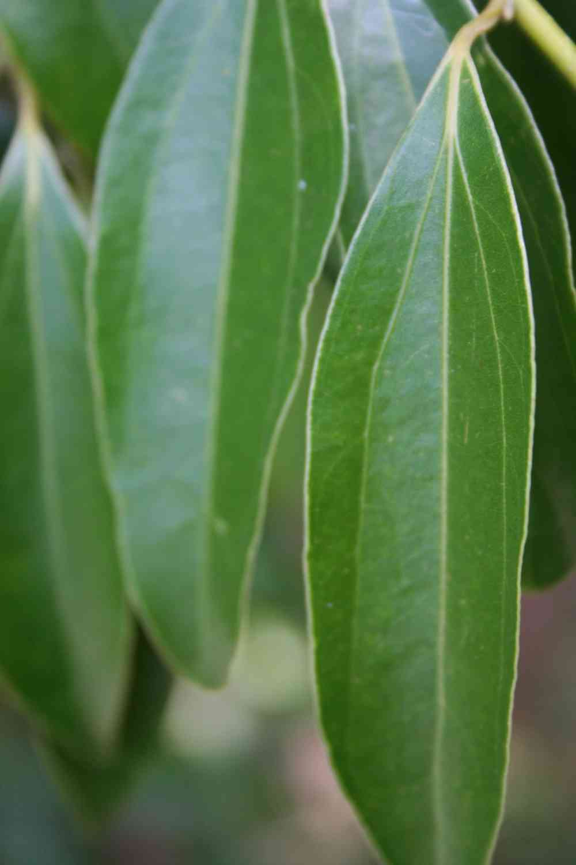 Cannelle ou Cinnamomum burmanii - Aplamedom Réunion