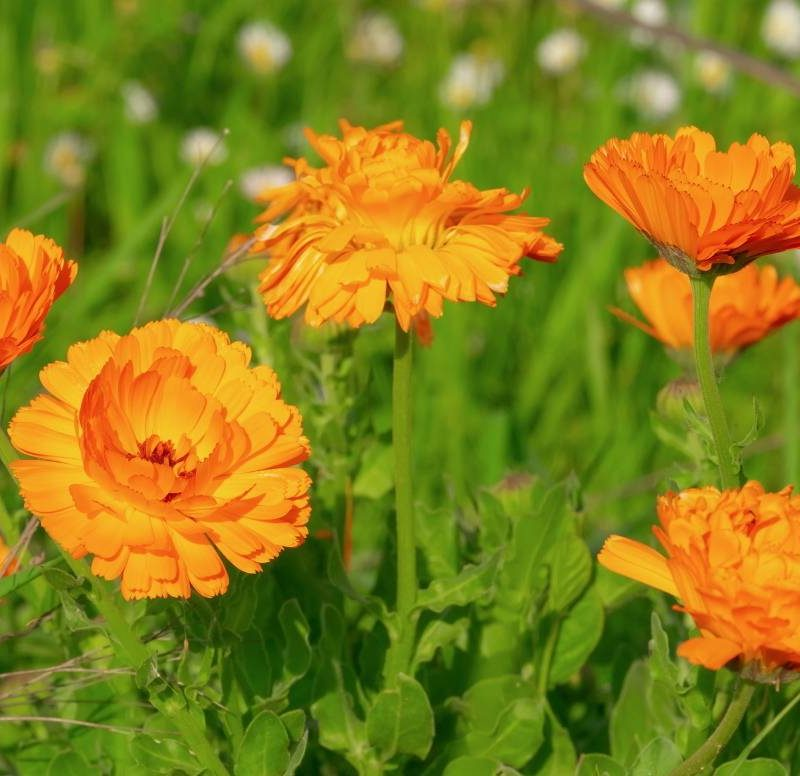 Calendula ou souci des jardins